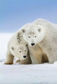 <b>Keeping</b> Warm with A Snuggle! | Белые медведи, Медведь ...