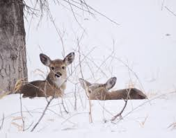 winter troubles for fish wildlife news sports jobs minot kim fundingsland mdn deep snow makes it difficult for deer to suitable protective cover