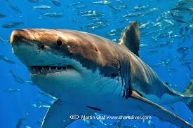 the best shark dive in the world  shark diver job opportunity