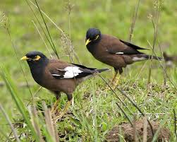 Gambar Burung Jalak Nias dan Cara Merawat Burung Kicau