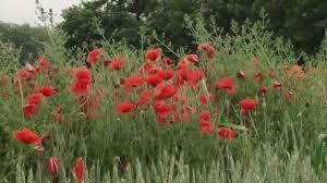 <b>Красные маки</b>, горькая память земли... - YouTube