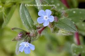 Flora of Israel: Nonea obtusifolia