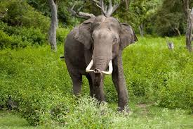 african elephant essays  african elephant essays
