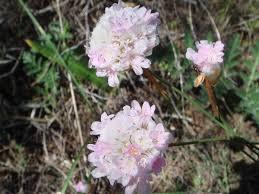 Armeria macrophylla – Wikipédia, a enciclopédia livre