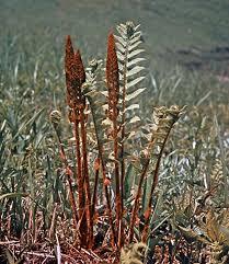 Osmundaceae | fern family | Britannica