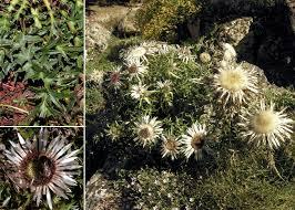 Carlina acaulis L. subsp. acaulis - Portale sulla flora del Parco ...