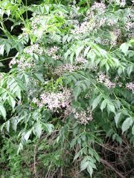 Meliaceae - Wikipedia
