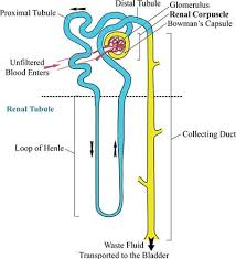 search  google search and google on pinterestnephron reabsorption secretion diagram   google search