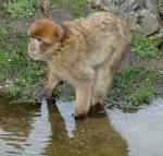 macaca sylvana