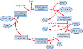 chemistry for biologists  respirationkrebs cycle diagram