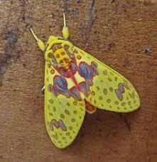 White Antenna <b>Wasp Moth</b> Amata nigriceps   Animals   <b>Moth</b>, <b>Insects</b> ...