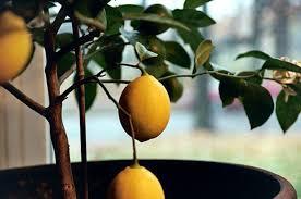 lemon tree x: meyer lemon indoors closeup photo by michelle slatella