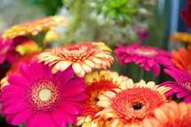 How to Care for <b>Gerbera Daisies</b> Inside   Home Guides   SF Gate