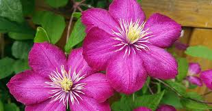 How to Grow Clematis: Make Your Vines Pop With Color ...