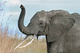 elephant african elephant its trunk raised a behaviour often adopted when trumpeting