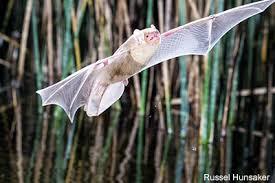 Build a Bat House   National Wildlife FederationBat  California  Photo by Russell Hunsaker