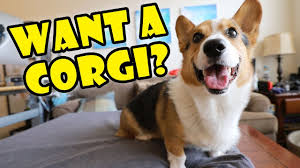 Want a <b>Corgi Puppy</b>? Things to Know! || Extra After College - YouTube