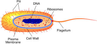 collection labeled diagram of bacterial cell pictures   diagramsimages of labeled diagram of bacterial cell diagrams