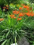 Images & Illustrations of crocosmia
