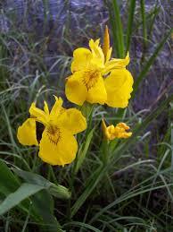 Iris pseudacorus - Wikipedia