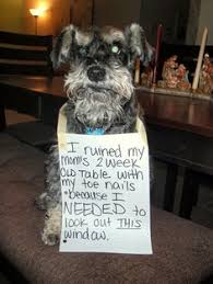 Funny Schnauzer Pictures | Your Pet Schnauzer via Relatably.com