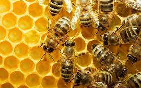 Image result for μελισσες
