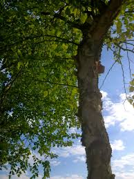 birches floating out epic characters philosopher mouse of the water birch tree all rights reserved copyrighted no permissions grant