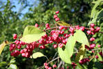 Images & Illustrations of common spindle tree