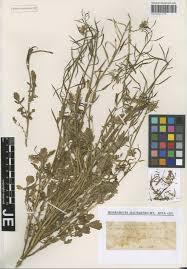 Brassica procumbens (Poir.) O.E.Schulz - Portale della Flora d'Italia ...