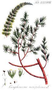 Camphorosmeae - Wikipedia
