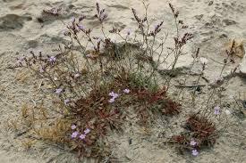 Кермек прутовидный עדעד רותמי Limonium virgatum.   Plants ...
