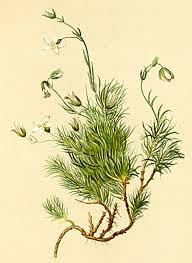 Minuartia recurva - Wikipedia