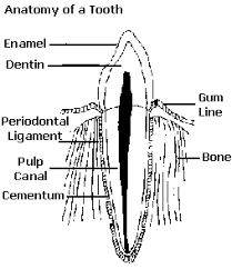Ποια είναι η ανατομία των δοντιών του σκύλου;