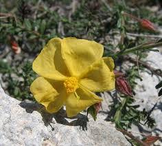 Fumana arabica (Mediterranean Rock Rose) : MaltaWildPlants.com ...