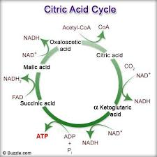 images about citric acid cycle on pinterest   citric acid    learn more at buzzle com