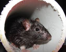 Rodents | CDC