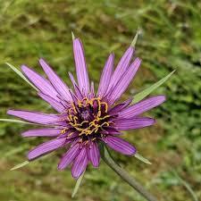 Tragopogon porrifolius Calflora
