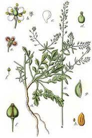 Lepidium graminifolium Grassleaf pepperweed PFAF Plant Database