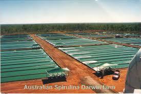 Hasil gambar untuk spirulina