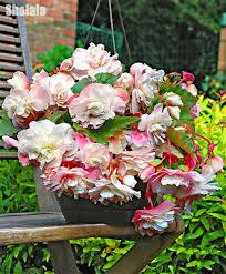 Double Flap <b>Begonia</b> Seed Rare Bonsai Flower Home Garden ...
