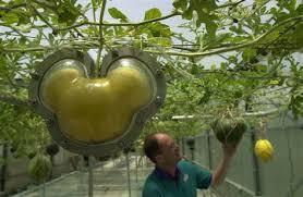 Interesting way to grow cucumbers Images?q=tbn:ANd9GcThbGvukDF3BZGV4KVkXrE1OfamxbBYt69MryaMFxl5YuAOnafWwQ