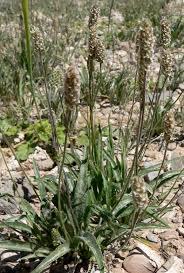Plantago ovata - Wikipedia