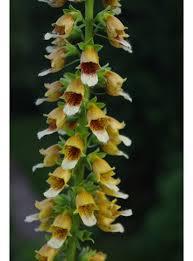 Plants for shade > Digitalis ferruginea - The Beth Chatto Gardens