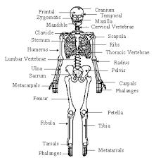 skeletal system   dr  odd