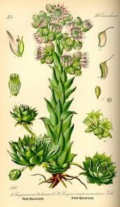 Sempervivum tectorum - Wikipedia