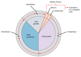 6.2 The Cell Cycle – Concepts of Biology – 1st Canadian Edition