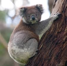 <b>Koala</b> - Wikipedia