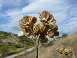 Tordylium maximum L. - Flora Catalana