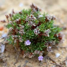 Limonium acutifolium subsp. nymphaeum (Erben) Arrigoni