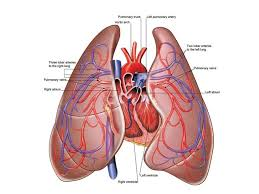 lungs  heart and pictures on pinterest